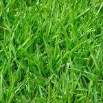 Perennial-Ryegrass-